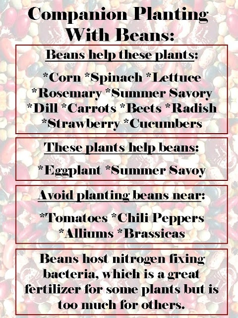 RHGS Outdoor & Gardening Blog: Companion Planting with Beans 2