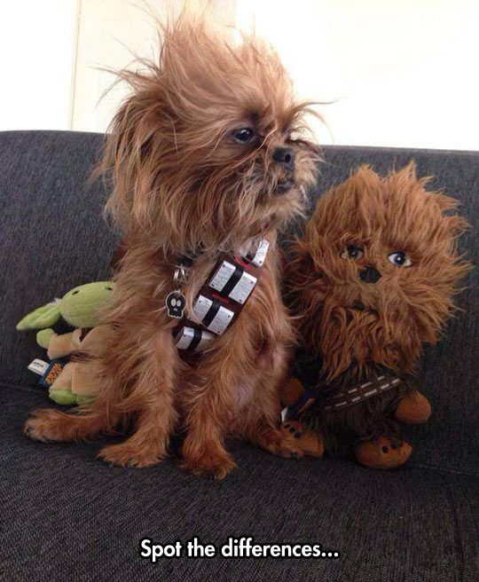 Mini Chewy! This may be the only type of small dog I could convince my hubby to get me. #starwarsfamily