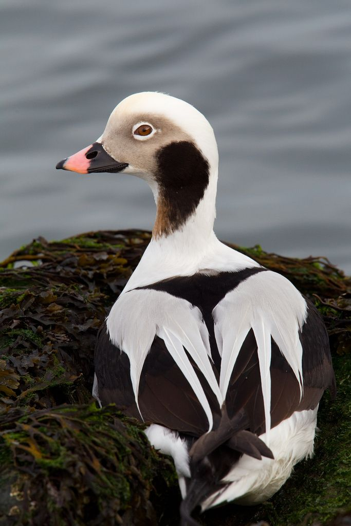 Long-tailed duck (clangula hyemalis) by Samuel Maglione, Barnegat Light State Park, NJ