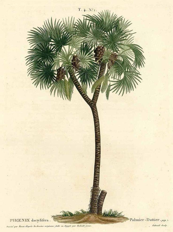 250376 Hyphaene thebaica (L.) Mart. [as Phoenix dactylifera [sic]]  / Duhamel du Monceau, H.L., Traité des arbres et arbustes, Nouvelle édition [Nouveau Duhamel], vol. 4: t. 1 (1809) [P. Bessa & Redouté jeune]
