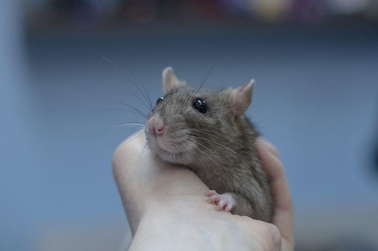 девочка ищет дом vk.com/fondhelprats #cute #rat #petrats #питер #спб #хочудомой #помощь #крыса #крысы #животные #фото