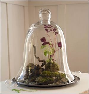 """A glass cloche, or bell-shaped jar shelters a landscape of moss, stones and two species of peperomia, Bloody Mary and Variegata, from """"Terrarium Craft: Create 50 Magical, Miniature Worlds,"""" (Timber Press, 2011) by Amy Bryant Aiello and Kate Bryant. ASSOCIATED PRESS"""