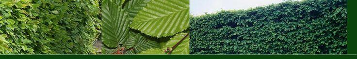 Haagbeuk - Carpinus betulus | Haagplanten4You.nl Niet verwarren met de echte beuk, Fagus sylvatica.  De Haagbeuk is zeer geschikt voor haag en wordt evenals de gewone beuk al sinds decennia gebruikt als haagplant bij boerderijen. U kunt een zeer mooie strakke haag realiseren die in de zomer groen is maar in