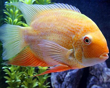Gold Severum, also known as the Banded Cichlid (freshwater, South American rivers) -- I have a pair of adult gold sevs in my large aquarium along with other tank mates. The most peaceful of the cichlids.  Big beauties.