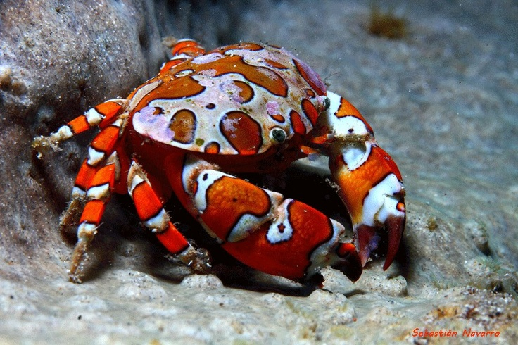 Crab (Hermodice carunculata) feeding on a starfish