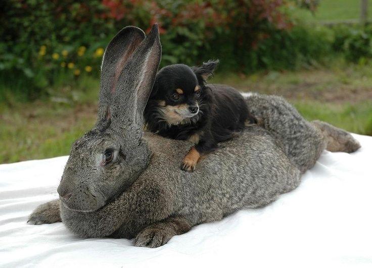 https://s-media-cache-ak0.pinimg.com/736x/e0/9a/9a/e09a9aa359fa2803542e05467c6dc893--flemish-giant-rabbit-rabbit-breeds.jpg