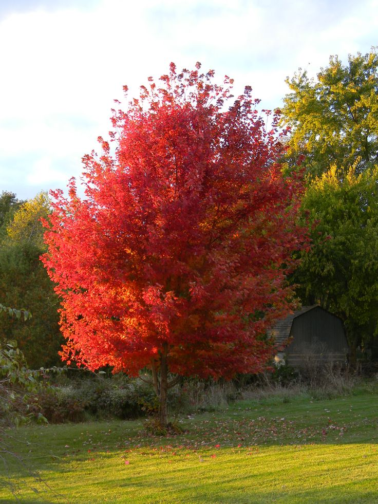 The autumn blaze maple is a rapidly growing shade tree once mature it can reach a height of up - Planting fruit trees in autumn ...