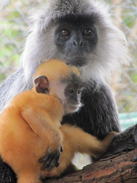 This baby langur whose mom won't let her play | Baby Cambodian Animals, Here To Make Your Day