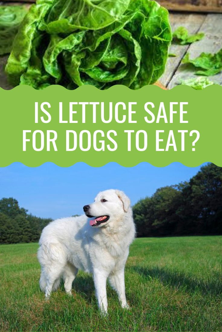 Can Dogs Eat Lettuce Barking Royalty Dogs Can Dogs Eat Dog Nutrition