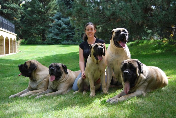 mastiff breeds | ... more about mastiffs in general our family our goals and our mastiffs