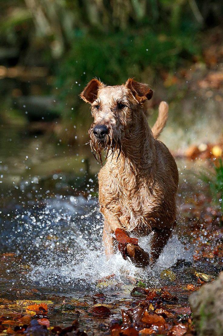 Beautiful Irish Terrier