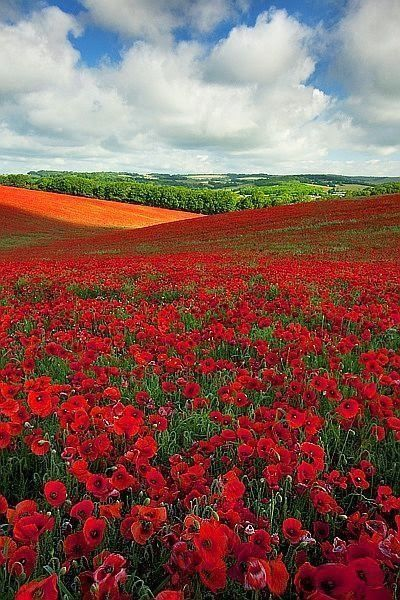 Poppy field in England