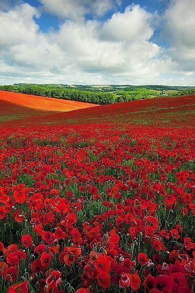 Poppy field in England