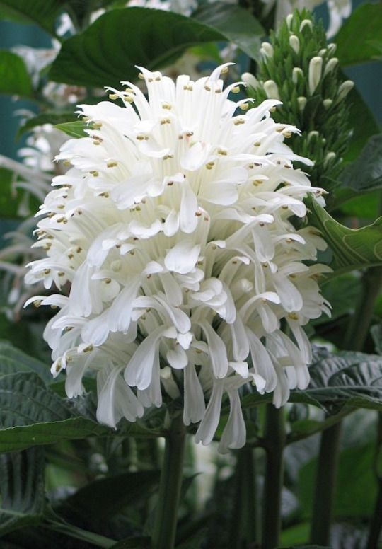 White Jacobinia, White Brazilian Plume....Justicia carnea alba Acanthaceae....An erect shrubby tropical perennial with tall, cone-like spikes of pure white flowers that glow atop the glossy deep green tropical foliage. With their long flowering season and compact habit Jacobinia's are excellent choices for mixed containers or as specimens on a shaded patio...Hardiness Zones: 9,10,11, 8B with protection.