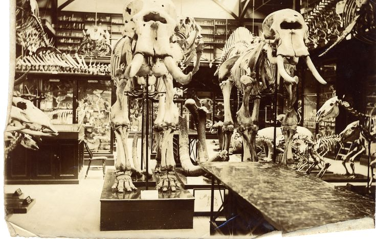 https://animalbytescambridge.files.wordpress.com/2013/03/old-museum-photos-6elephants.jpg