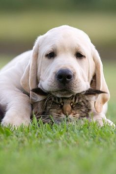 Labrador Retriever puppy with cat buried in there somewhere