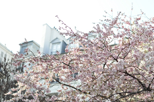 Pinky and cherry blossoms 8