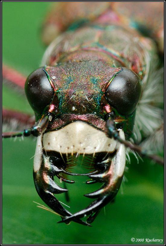 Tiger Beetle Face Cicindela hybrida