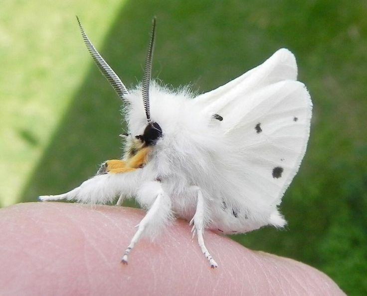 Venezuela Poodle Moth (Diaphora mendica)