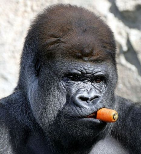 Gorillas play games of tag just like human children
