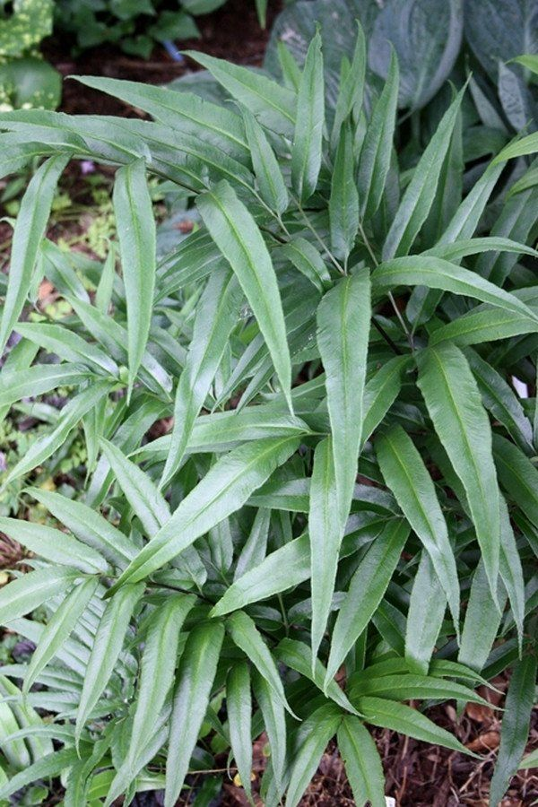 Coniogramme japonica | Japanese Bamboo Fern for sale $17.00 | Plant Delights Nursery