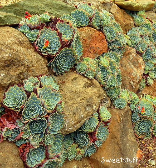 """Love this idea of using succulents to fill in a rock wall. Use different succulents to add colour and variety. (Echeveria secunda in rock wall by Sweetstuff """"Candy"""" / Magic Garden <3)"""