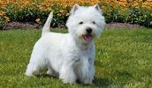 West Highland White Terrier breed info,Pictures,Characteristics,Hypoallergenic:Yes