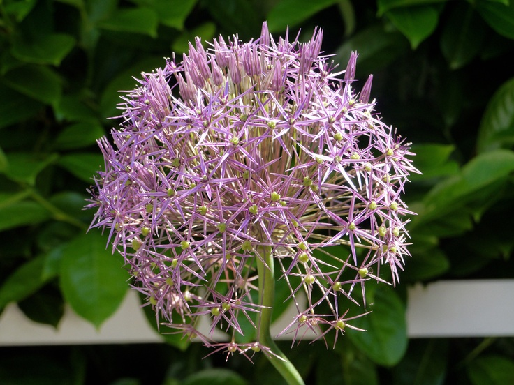 alliums are blooming