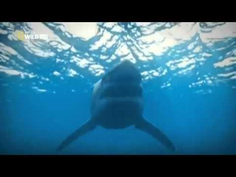 Documentales de animales. Documental sobre El Gran Tiburón Blanco. MAS VIDEOS EN: http://www.tusvideosdecaza.com Yo Depredador.