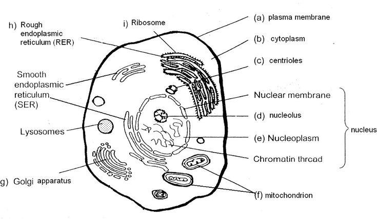 Blank Plant Cell Diagram Worksheet Inspirational Blank ...
