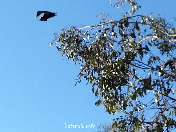 Boonah Queensland after the mega bat dispersal 05/07/2014