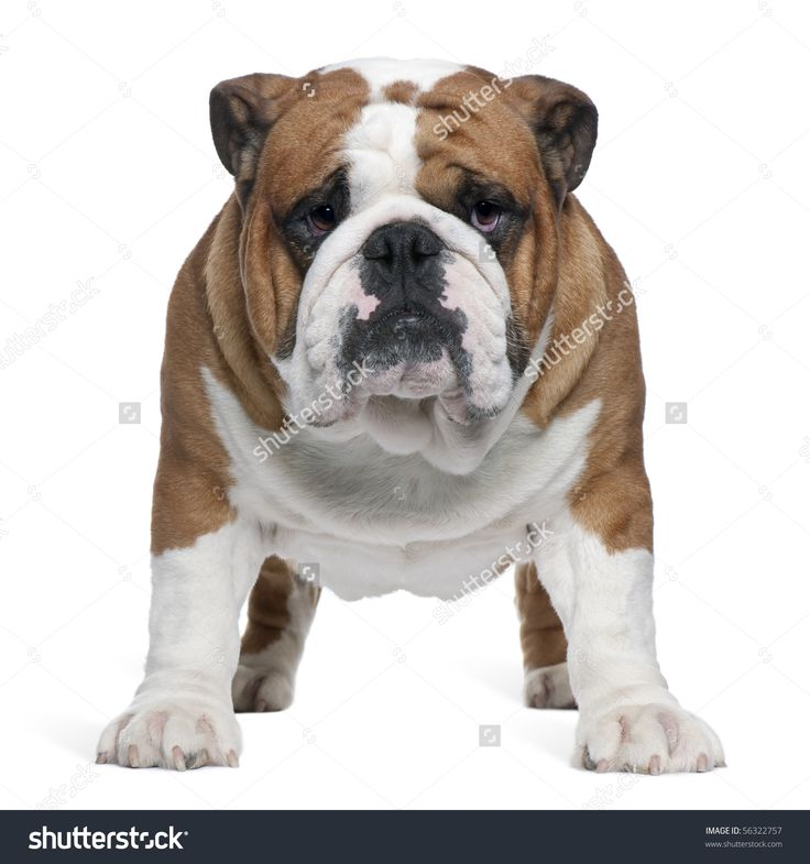 english bulldog health issues 1000 images about english bulldogs on pinterest pet 1598