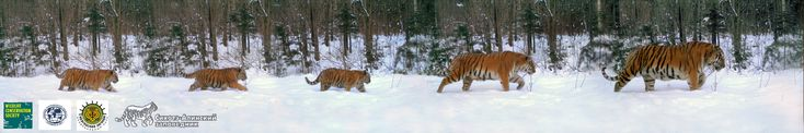 Family of Amur tigers is a composite of photos taken from a camera trap in the wilds of Russia. Photo courtesy of the Wildlife Conservation Society