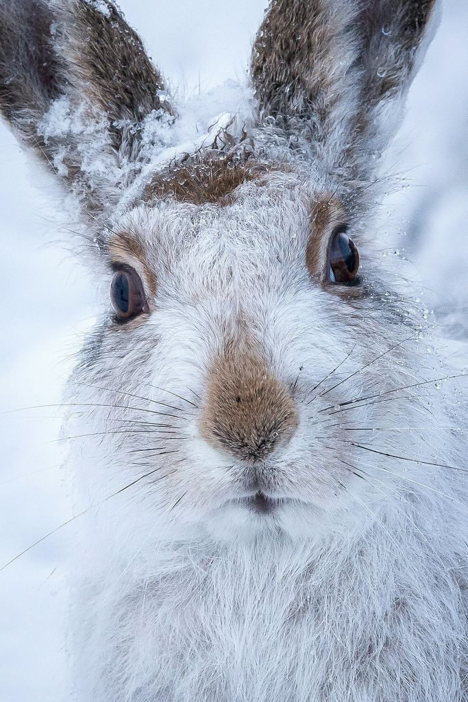 Mountain hare by Susanna Chan. °