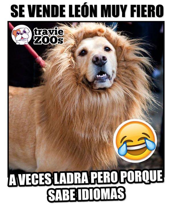 Si No Sabe De Leones No Me Arruine El Negocio Memes Divertidos Perros Frases Memes De Leon