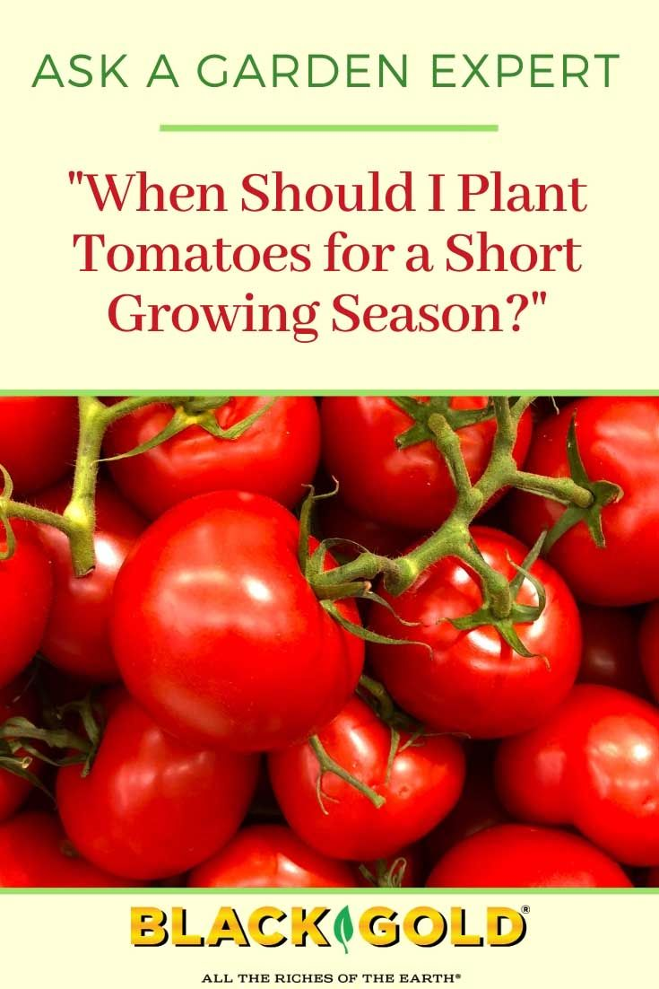 When Should I Plant Tomatoes For A Short Growing Season In 2020 Tomato Plants Tomato Growing