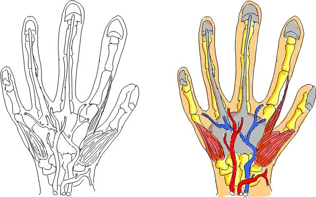Hand, Tissues and blood vessel