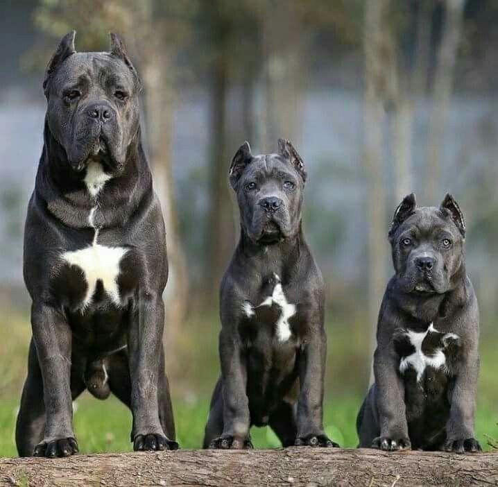 Cane Corso Corso Dog Cane Corso Dog Cane Corso Puppies