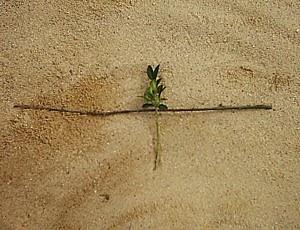 Dann stecke ich die Buchsbaum-Stecklinge tief in den lockeren Gartenboden. Die entblätterten unteren 2/3 verschwinden im Boden ... etwa so, wie ich es hier schematisch dargestellt habe. viele Gartenfreunde versuchen bei der Gartenarbeit den Mondrhythmus zu berücksichtigen. Stecklinge lassen sich besser bei zunehmendem Mond ziehen, weil sich dann die feinen Wurzeln schneller ausbilden ...