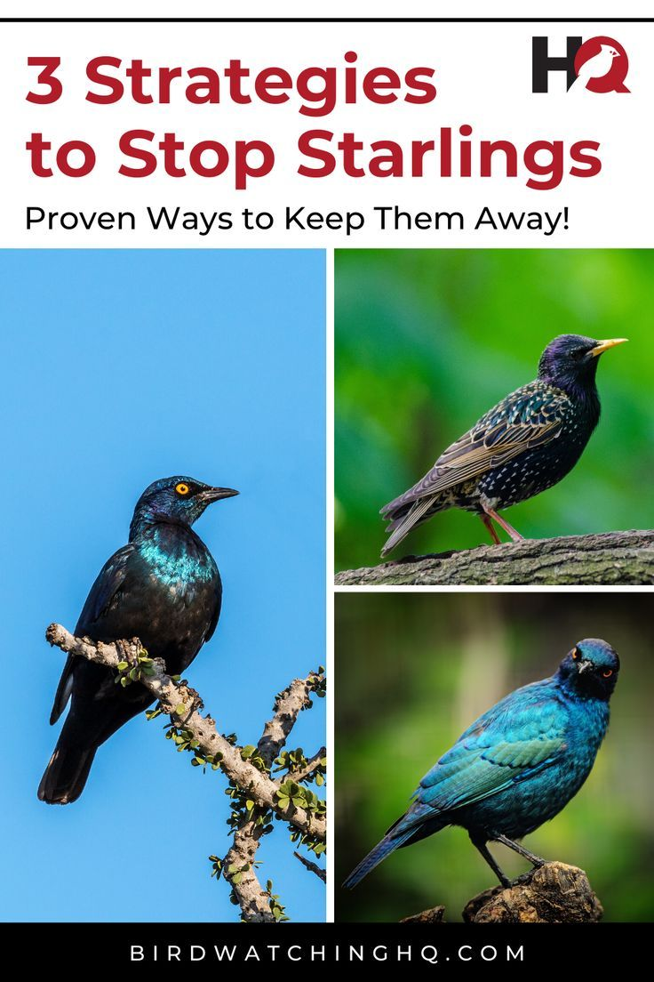 how to get rid of starlings in the garden