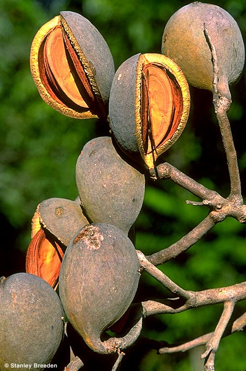 Seed pods: Northern Silky Oak, Cardwellia sublimis