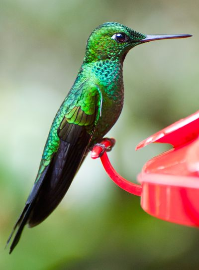 New high speed video has finally revealed how humming birds drink nectar. Researchers previously thought tube-like channels in their tongues sucked up fluid by capillary action. But the new analysis shows that their tongues actually trap nectar by curling around it. Click through for the video!