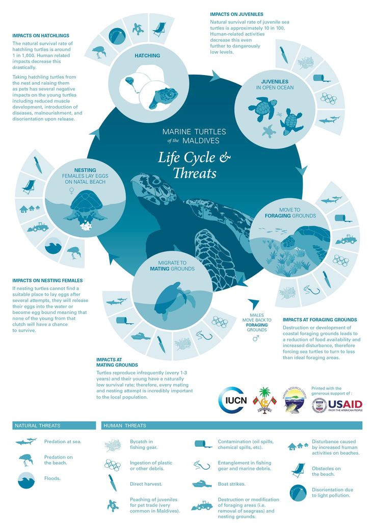 turtle life cycle and threats info graphic