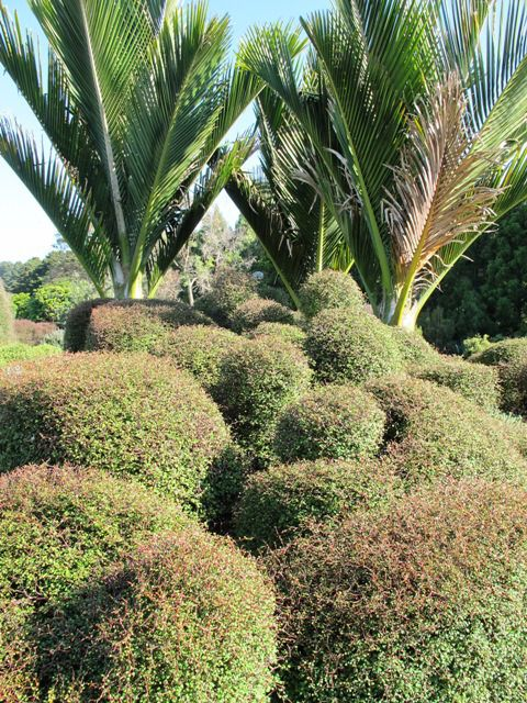 Clipped Muehlenbeckia astonii and nikau palms show native plants are not boring at all.