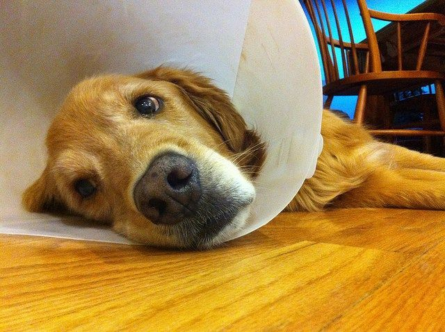 Easy Home Cure For Golden Retriever Ear Infection Home Remedy For