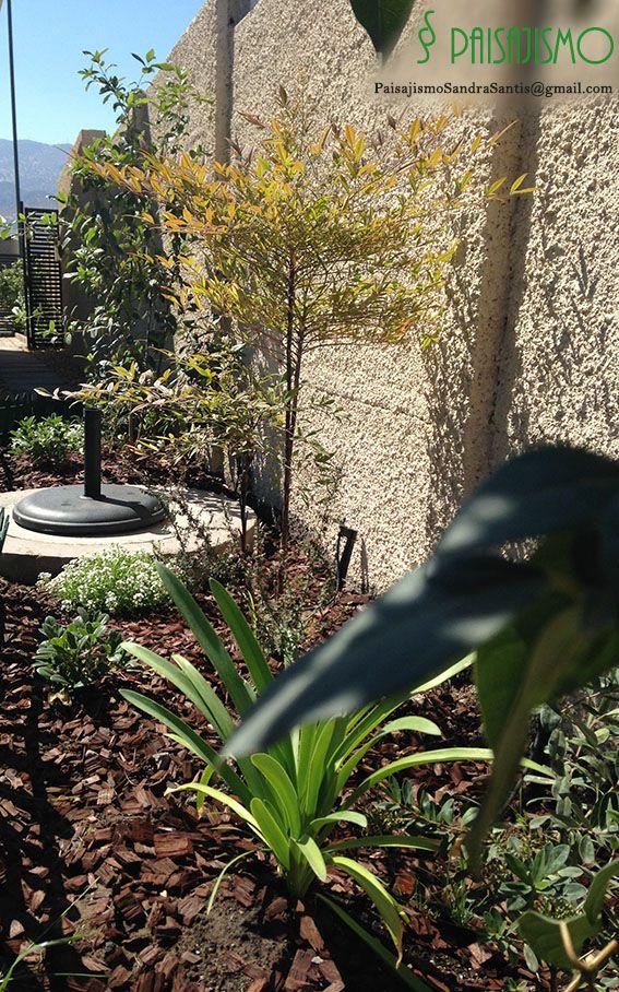jardín realizado en Chicureo .. con lindas Nandinas domesticas y Laurentinas que otorgan colores rojizos y flores blancas en otoño más el azul de los agapanthus