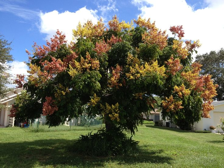 Golden rain tree a spectacular and colorful spreading