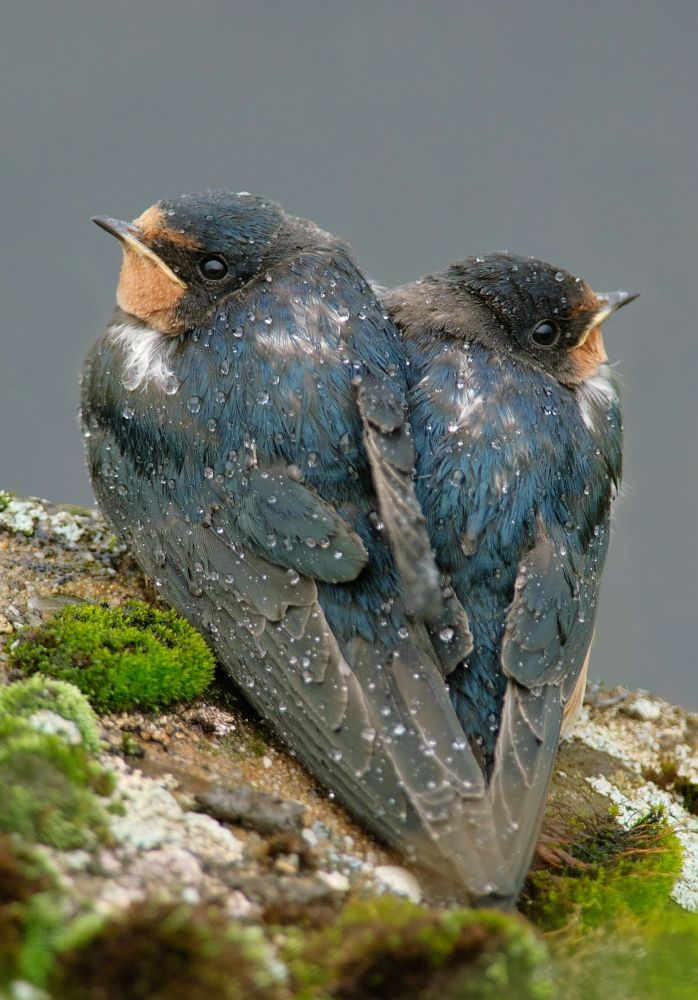 .Swallows - Andorinhas                                                                                                                                                                                 Mais