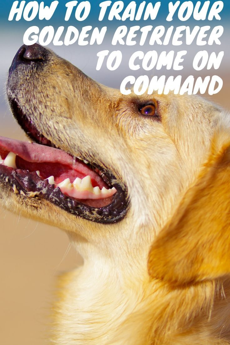 This Post Will Show You How To Train Your Golden Retriever To Come