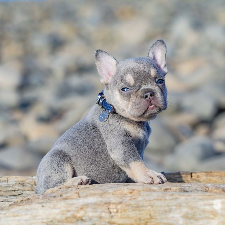Lilac And Tan French Bulldog Puppy For Sale In Washington State